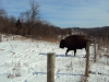 The Bison Ranch
