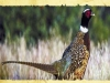 Footcreek Pheasants